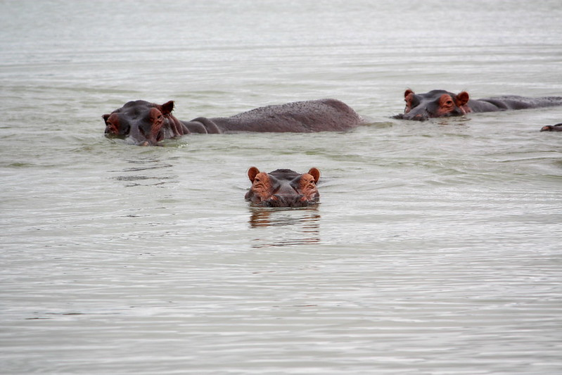 hippos in nyerere